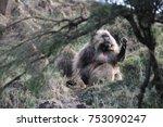 a gelada baboon  also called... | Shutterstock . vector #753090247