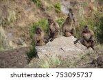 four young gelada baboons  also ... | Shutterstock . vector #753095737