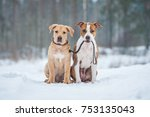 Stock photo american staffordshire terrier dog holding a puppy on a leash 753135043