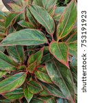 Small photo of Close up of Red Aglaonema (chinese evergreen)