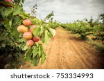 A Branch With Apricots And...