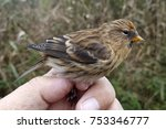 Small photo of Young Lesser redpoll (Acanthis cabaret), just banded