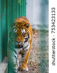 Small photo of Huge male Siberian Tiger walking around the cage in a zoo. Angry, dangerous, nervous, agitated, scary. Animal rights, endangered species and captivity.