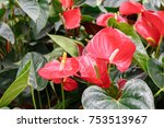 Many Ripe Red Anthuriums With...