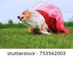 australian shepherd runs... | Shutterstock . vector #753562003