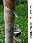 Small photo of Tapping latex from a rubber tree,Phuket, Thailand.