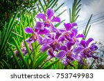 Small photo of Violet Vanda orchid flowers (Orchidaceae) are blooming on tree in the park
