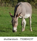 Small photo of An African Wild Ass or donkey, grazing on grass
