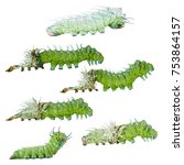Small photo of Isolated molting caterpillar stage of Atlas butterfly ( atlas; attacus ) with individual clipping path