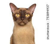 portrait of chocolate burmese... | Shutterstock . vector #753894937