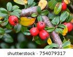 Scarlet Firethorn Shrub
