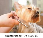 Yorkshire Terrier Getting His...
