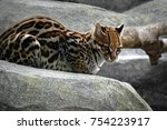 Beautiful Ocelot Cat