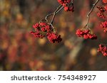 Small photo of Sorbus americana is commonly known as the American mountain-ash