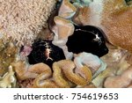 Small photo of Ovula ovum Cypraeidae cowry sea snails