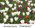 Colorful Tulips And  Blue...