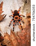 Small photo of Birdeater tarantula spider Brachypelma smithi in natural forest environment. Bright orange colourful giant arachnid.