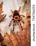 Small photo of Birdeater tarantula spider Brachypelma smithi in natural forest environment. Bright orange colourful giant arachnid.