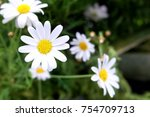 close up on a daisy flower with ... | Shutterstock . vector #754709713
