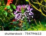 capparidaceae flower in the