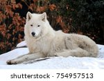 hudson bay wolf in the snow | Shutterstock . vector #754957513