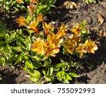 dazzling princess lilies ... | Shutterstock . vector #755092993