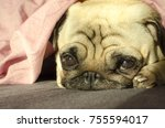 very sad dog breed pug laying... | Shutterstock . vector #755594017