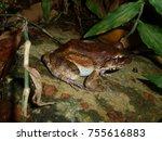 cane toad  rhinella marina  ... | Shutterstock . vector #755616883
