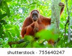 female orangutan sitting at... | Shutterstock . vector #755640247