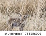 young coyote standing in the... | Shutterstock . vector #755656003