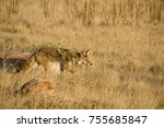 coyote foraging in the dry... | Shutterstock . vector #755685847