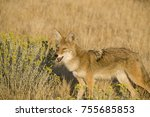 coyote foraging in the dry... | Shutterstock . vector #755685853