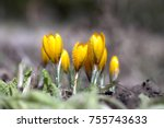 crocus grows in the garden on a ... | Shutterstock . vector #755743633