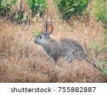a western brush rabbit ... | Shutterstock . vector #755882887