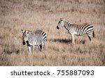 zebras graze in the hills of... | Shutterstock . vector #755887093