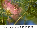 Small photo of Albizzia Julibrissin of flowers