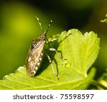 Shield Bug  Also Known As Stin...