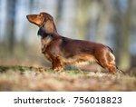 healthy purebred dog... | Shutterstock . vector #756018823