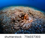 close up of a common octopus ... | Shutterstock . vector #756037303