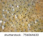 frog egg mass. european common... | Shutterstock . vector #756064633
