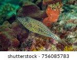 Small photo of Scraweled Filefish - Aluterus scriptus
