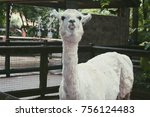 confused llama in the zoo | Shutterstock . vector #756124483
