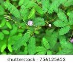 mimosa pudica   sensitive plant ...   Shutterstock . vector #756125653