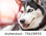 Siberian Husky Dog Portrait...