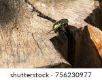 Small photo of Beetle green rose chafer sits on a stump (Cetonia aurata)