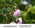 pink rose bush | Shutterstock . vector #756245257