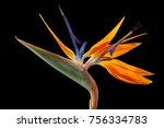 closeup of bird of paradise... | Shutterstock . vector #756334783