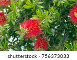 Red Fluffy Flowers Of The...