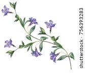 Stock photo watercolor sprig of periwinkle 756393283