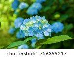 Blue Hydrangea Flowers ...